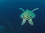 Green sea turtle (Chelonia mydas), Galapagos Islands, Ecuador<br />