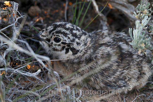Greater Sage-Grouse chick hiden under a sage bush. Sublette County, Wyoming. June.