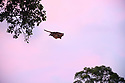 Red giant flying squirrel (Petaurista petaurista) gliding / 'flying' between tree truncks across open canopy space at dusk. Sepilok, Sabah, Borneo.
