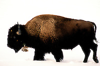 American Bison (Bison bison) walks through winter snow, Yellowstone National Park, Wyoming, United States of America
