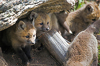 Fox den and kits in Yellowstone National Park