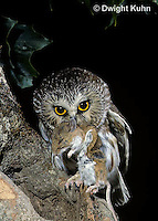 OW03-113z  Saw-whet owl - with mouse prey - Aegolius acadicus