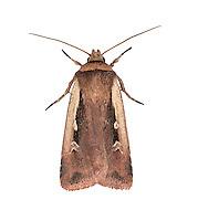 Flame Shoulder - Ochropleura plecta - 73.329 (2102)