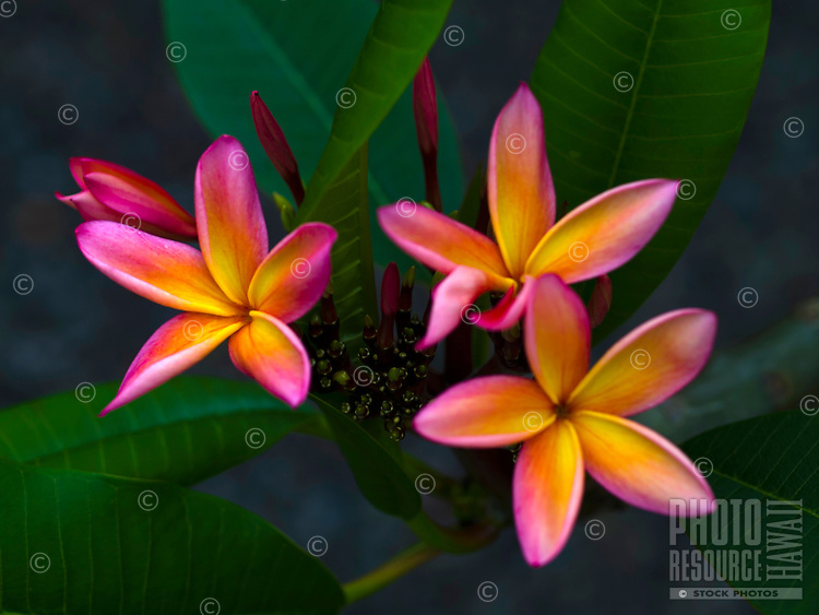A small cluster of pink and yellow plumeria flowers, Big Island.