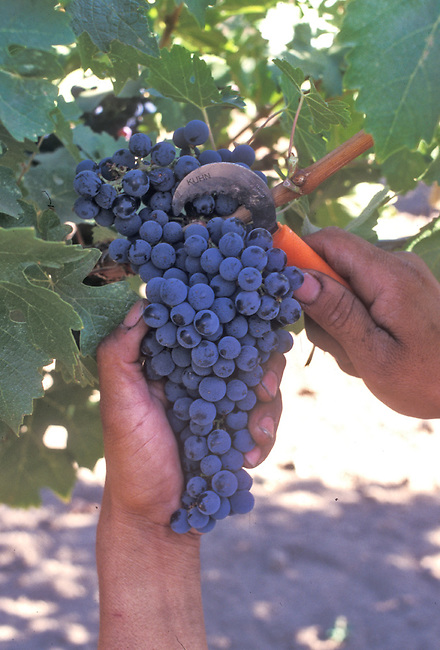 Picking Cabernet Sauvignon grapes