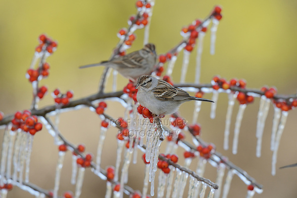 Chipping Sparrow (Spizella passerina), adult perched on icy branch, Hill Country, Texas, USA