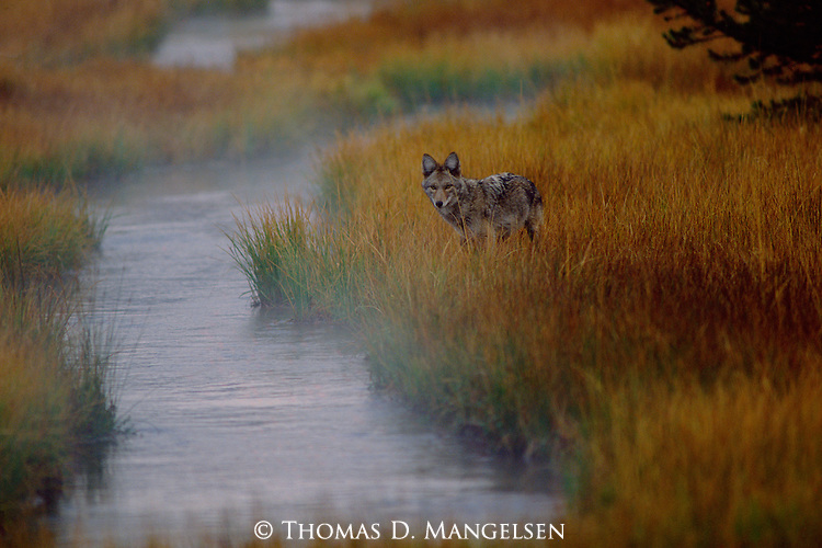 Fog rises from the stream as a coyote hunts for mice in the tall grass.