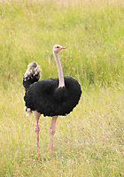 Male Common Ostrich, Struthio camelus, in Maasai Mara National Reserve, Kenya