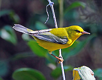 Adult male blue-winged warbler in fall migration