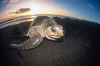 olive ridley sea turtle, Lepidochelys olivacea, on the beach, Costa Rica, Pacific Ocean