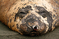 Sleeping Bull Southern Elephant Seal, Macquarie Island, Antarctica