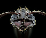Pictured:  Black ant.<br /> <br /> A series of mesmerising close-up images of insects make them look like aliens.  Photographer Marco Jongsma captured the macro shots of a range of bugs including a cuckoo wasp and a crab spider.<br /> <br /> The pictures detail the intricate features and patterns of the insects - from the bulging yellow eyes of a tiger beetle to the delicate hairs on a honey bee.  The 34-year-old used a macro lens and a microscope to picture the insects in a laboratory at his home in Lemmer, the Netherlands.  SEE OUR COPY FOR DETAILS.<br /> <br /> Please byline: Marco Jongsma/Solent News<br /> <br /> © Marco Jongsma/Solent News & Photo Agency<br /> UK +44 (0) 2380 458800