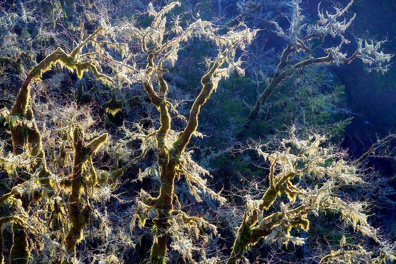 Backlit moss on oak trees. Eagle Creek, Oregon