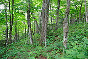 Hardwood forest on the northern slopes Mount Waternomee in Kinsman Notch of Woodstock, New Hampshire USA during the summer months