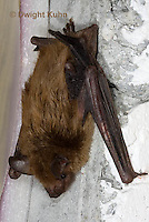 MA20-682z   Big Brown Bat hanging from attic ceiling, Eptesicus fuscus