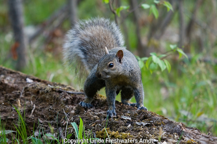Eastern gray squirrel (Sciurus carolinensis) standing on a log in the deep forest