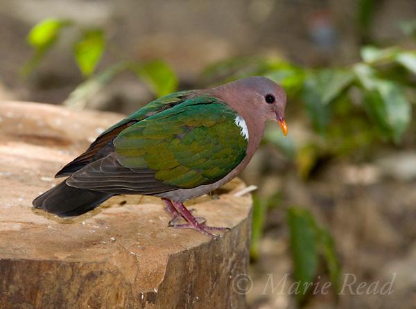 Emerald Dove (Chalcophaps indica), Julatten, Queensland, Australia.