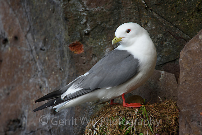 Adult Red-legged Kittiwake on a nest. St. George Island, Alaska. July.