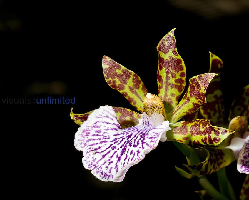 Spotted Zygopetalum Orchid (Zygopetalum mackayi), United States Botanical Gardens, Washington, DC, USA.