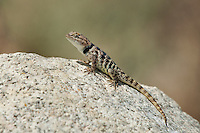 442800006 a wild yellow-backed spiny lizard sceloparus uniformis basks on a granite rock in the buttermilks near bishop owens valley inyo county california united states