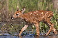 White-tailed fawn walking through the water in northern Wisconsin