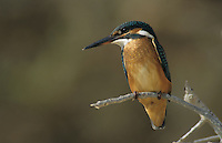 Common Kingfisher, Alcedo atthis,adult, Cyprus, Greek Island, Greece, Europe