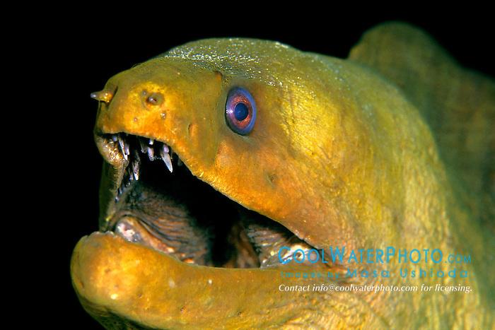 green moray, Gymnothorax funebris, Pickle Barrel Reef, Key Largo, Florida Keys National Marine Sanctuary, Atlantic Ocean