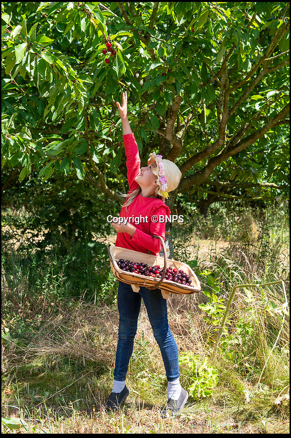 BNPS.CO.UK (01202 558833)<br /> Pic: PhilYeomans/BNPS<br /> <br /> Stunning year for British cherries...Honor Davis helps out her mother Hayley.<br /> <br /> As easy as picking cherries…<br /> <br /> An outdoor cherry farm is celebrating a bumper crop in this year's heatwave - making up for the previous year when the delicate fruit was wiped out by bad weather.<br /> <br /> Businesswomen Hayley Davis and Laurie Griffin harvest six different varieties from 5,000 trees on farmer John Hawkins farm in Dorset, and the hot summer has provided perfect conditions to ripen a record harvest.<br /> <br /> Falconer Mike Coleman has even been brought in to provide aerial protection to the tasty crop as the delicious berries are as popular with birds as with the Great British public.