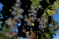 Grapes hang from vines and bushes in a vineyard in West Richland, Washington, USA.
