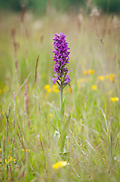 Early-purple Orchid {Orchis mascula} at Arkwright Portrait