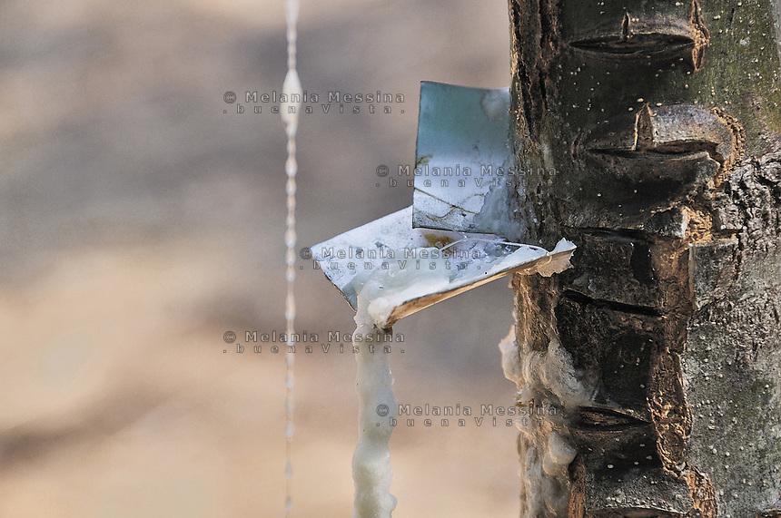 Castelbuono,  manna nel frassineto...Castelbuono: manna in the wood ash.