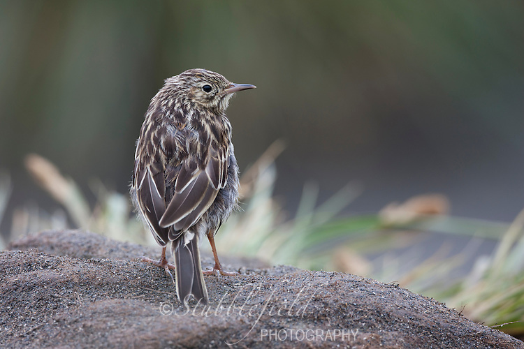 South Georgia Pipit (Anthus antarcticus) on South Georgia Island near Salisbury Plain.