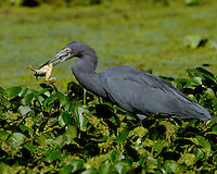 Little Blue Heron eating a frog, Brazos Bend State Park, Texas