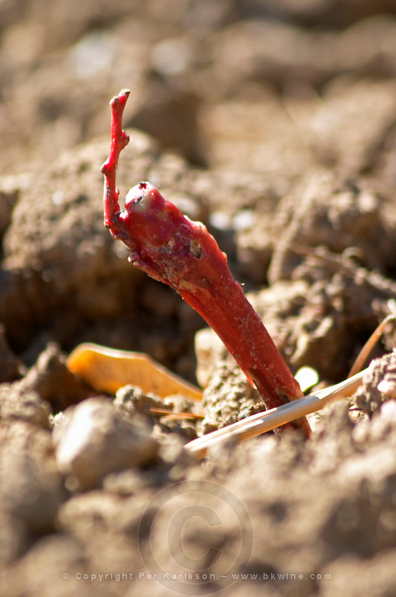 A newly planted vine with the red wax cover protecting the graft still present. Cinsault grape variety planted 15 days ago.  Cassis Cote d'Azur Bouches du Rhone France