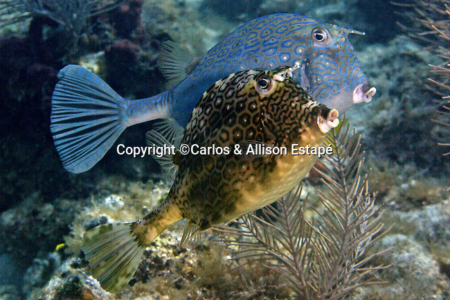 Acanthostracion polygonius, Honeycomb cowfish, Florida Keys