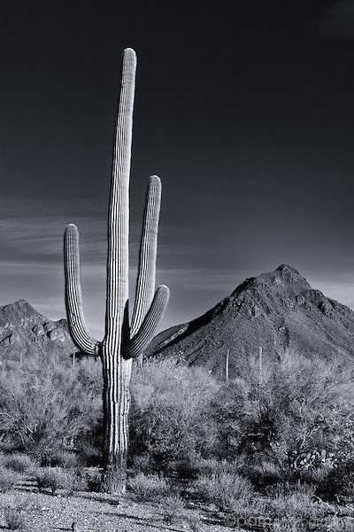 One desert saguaro with mountain peak