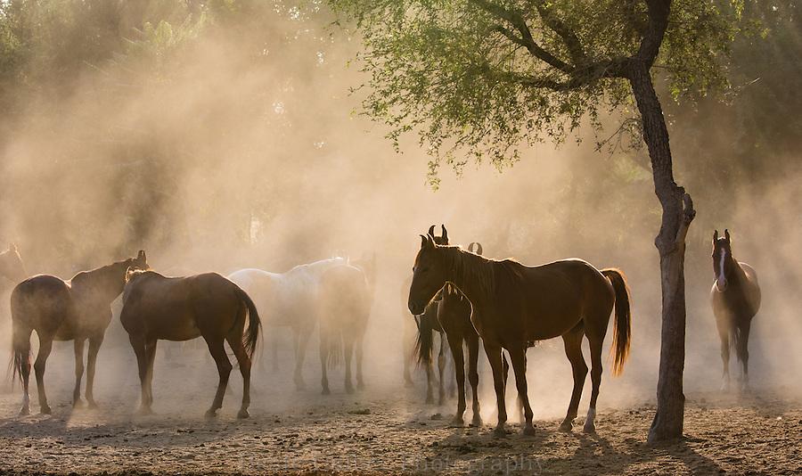 Marwari mares in Nawalgarh, Rajasthan, India Marwari mares in a field, Nawalgarh, Rajasthan, India
