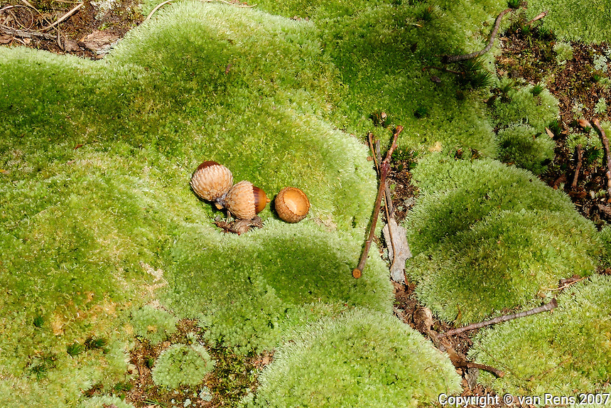Simple acorn in moss forest floor setting.