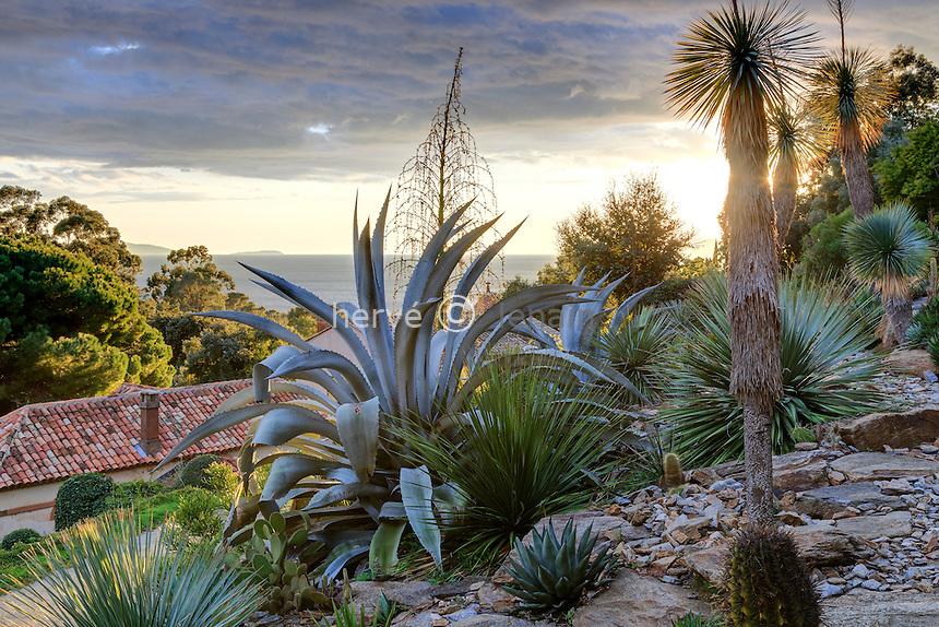 Domaine du Rayol en novembre : le jardin d'Amérique aride, avec cactées, agaves, Dasylirion et Yucca rostrata, la haute hampe florale est celle d'un Fucrea
