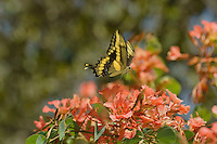Giant Swallowtail Butterfly (Papilio cresphontes) nectaring..