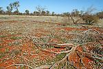 Allisom Field in the outback near Tibooburra NSW