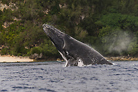 Vava'u, Kingdom of Tonga (Friday August 12, 2016): A winters day with a mix overcast to sunny skies, light winds, passing showers and relatively clam seas was a good day for a whale watching  trip and the opportunity to swim with them in the waters off Vava'u.  The conditions kept most of the whales on the move today with a number of breaches. Tonga is one of the few places in the world where you can swim with these magnificent creatures. The migrating whales are generally around from June to late October with a number of births happening in the Tongan waters. Photo: joliphotos
