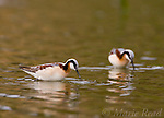 Wilson's Phalarope (Phalaropus bicolor), female in breeding plumage, feeding in shallow water, Orange County, California, USA