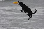 Black dog catching Frisbee in Aptos