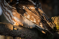 Talons and primary feathers on a ,ale Saw-Whet Owl near the nest box. Photo by James R. Evans.