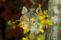 Gray wolf (Canis lupus) looking through fall leaves.