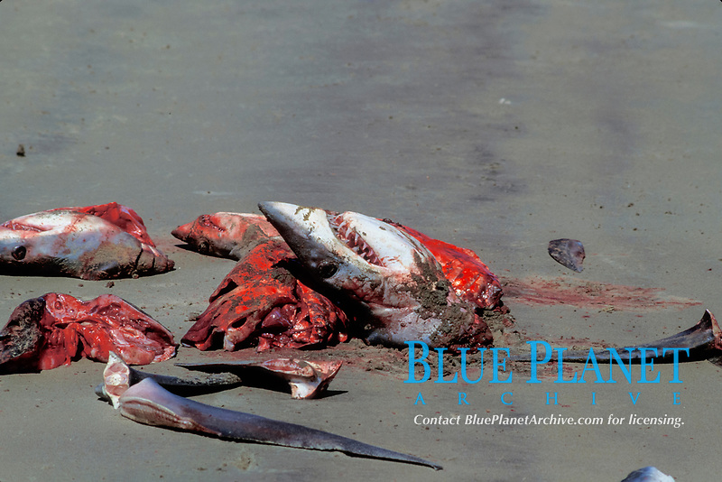 freshly butchered mako sharks, Isurus oxyrinchus, local Mexican shark fishery, Isla Magdalena, Baja, Mexico, Pacific Ocean