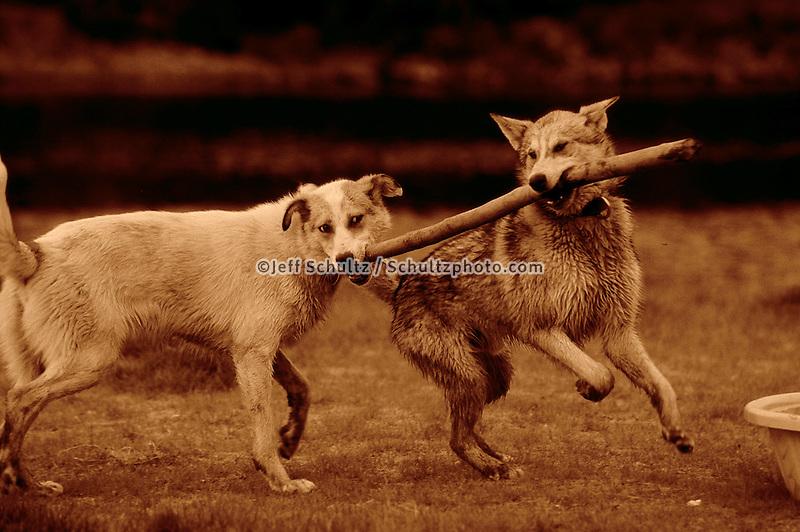 Susan Butcher's Dogs Spark & Kuparuk Play W/ Stick Ak