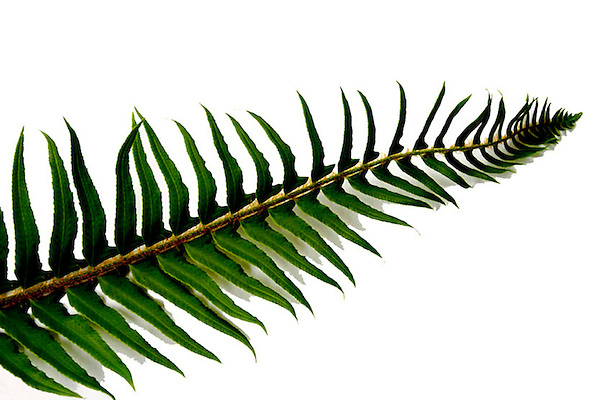Fringed Shade! A Single Fern.<br />