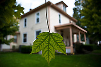 Fall maple leaf, still green, in foreground with house in background. Shallow depth of field.